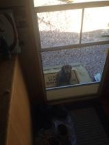 Vito, the builder's puppy looking in the door