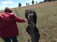 Mom feeding the cows