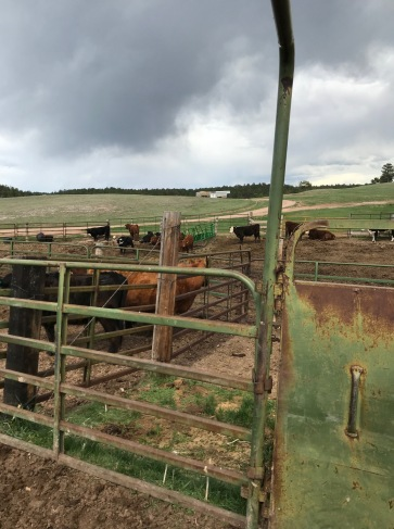 Cows mulling around waiting for preg checks