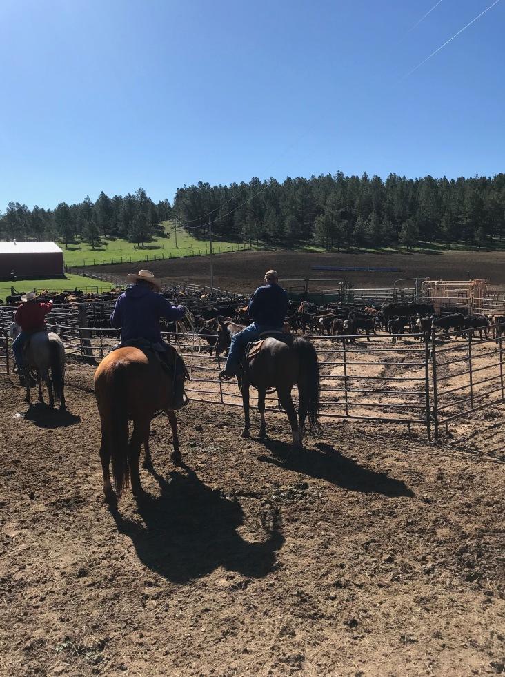 Cattle round-up on horseback