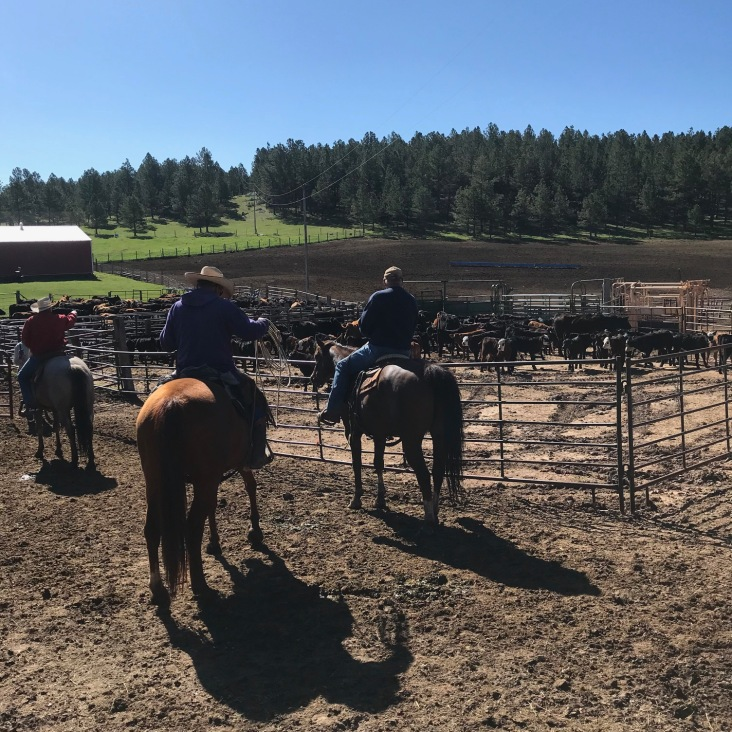 Cattle round-up on horseback