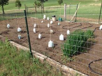 Milk jugs over little plants to prevent hail damage