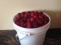 Buckets of crab apples