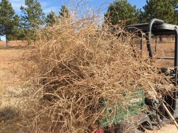 A Mule-full of tumbleweeds