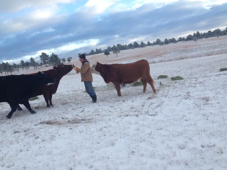 Cows trying to get a selfie with Rancher Dave