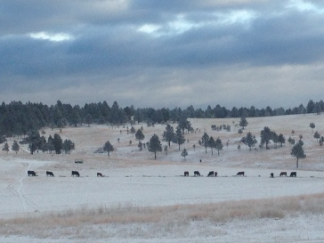 Cows feeding on the Holler