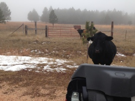 Koozy the bull, following the truck for cake